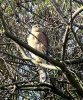 Sparrowhawk at Applerow, Eastwood (Don Petrie) (132083 bytes)